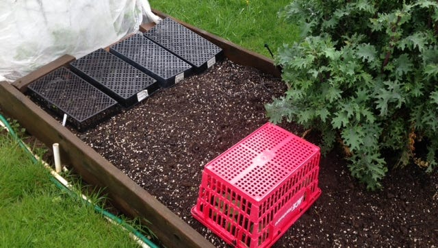 Spun row cover protects pea plants. Mesh flats from a nursery protect young lettuce and a salvaged shopping basket covers broccoli plants.