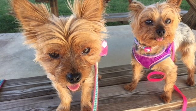 Yorkies Chevy and Sadie were stolen out of Lori Tandy's pickup truck Tuesday at Publix off Northshore Drive.