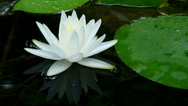 Close-up of a native water lily.