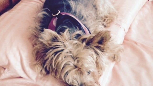 Roxy the terrier