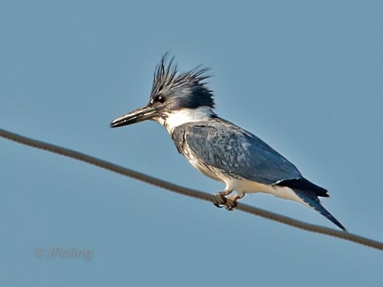 The Belted Kingfisher is a full-time resident of the Valley.