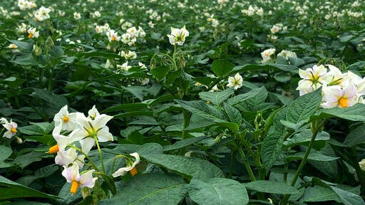Fields are covered with flowering potato plants on Sunday, July 19, 2020, near Fort Fairfield, Maine. The vast majority of Maine's thousands of acres of potato farms are located in Aroostook County in northern Maine, which is experiencing the driest summer on record.