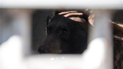 In this photo provided by Nevada Department of Wildlife, a black bear captured in Carson City earlier in the day sits in a trap outside the Nevada Department of Wildlife headquarters in Reno, Nev., on Thursday awaiting its release back to the wild. An already busy bear season has exploded in the Sierra Nevada with nine hungry bruins captured since Wednesday morning near Reno and Lake Tahoe as an ongoing drought continues to make food scarce in the mountains. A 10th was hit and killed by a car Thursday in south Reno.