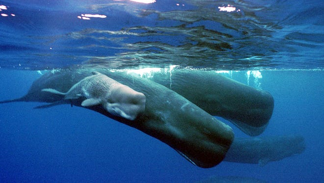 A June 15, 2001, photo from files of a sperm whale calf swimming next to its mother and a pod of sperm whales, about four miles off the coast of the Agat Marina in Guam.