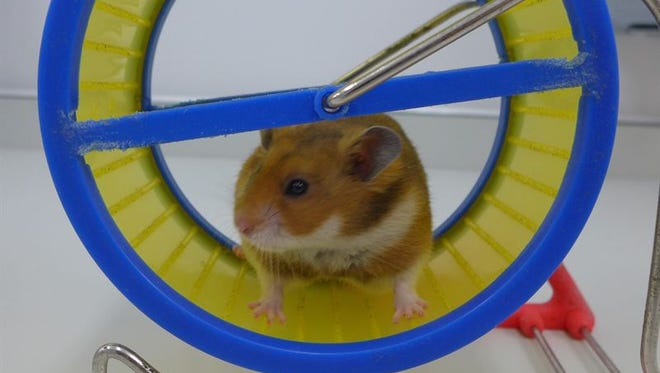 Happy hamster on a wheel