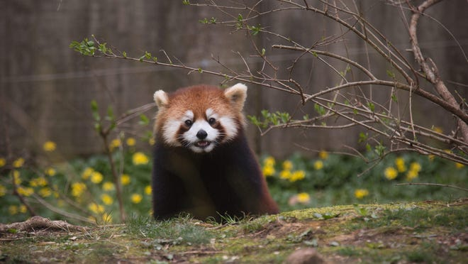 Harriet is a red panda born June 14, 2016 to parents Lin and Harold at the Cincinnati Zoo and Botanical Garden. The pandas can be found near the Spaulding Children's Zoo. The zoo works with the Red Panda Network to protect the red pandas and their bamboo forests. The pandas are part of the Species Survival Plan.