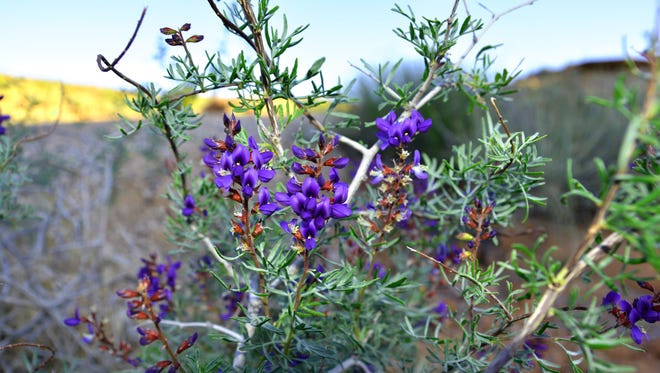Tea was made from flowers, leaves and stems of the beautiful Indigo bush and used for colds, flu and tuberculosis.  The root was also made into a liquid and used for flu and pneumonia.