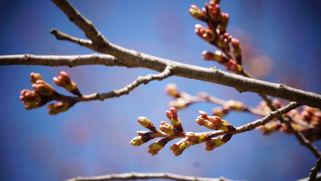 Cherry blossoms in Brandywine Park started to bloom early this year until they were tested last week when temperatures fell and an ice storm brought damaging conditions to the area.