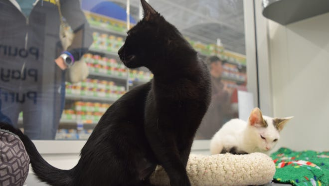 Up to 12 cats will be up for adoption every week at the new PetSmart in Rehoboth Beach, through a partnership with Brandywine Valley SPCA.