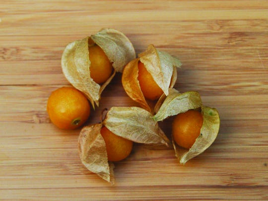 Ground cherries ripen in a papery husk that hangs from the leaf axle by a stem. They ripen in late summer, sometimes forming large patches on waste areas, along fences and railroad grades. Unripe berries and other parts of the plant are toxic.