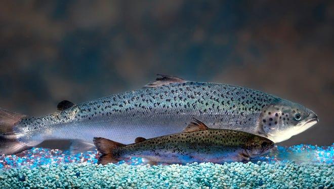 Two same-age salmon, a genetically modified salmon, rear, and a non-genetically modified salmon, foreground.