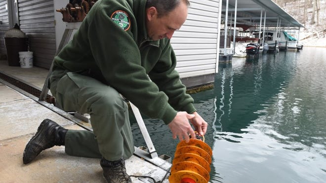 Tennessee Wildlife Resource Agency biologist Bart Carter checks for signs of Zebra mussels along  the Norris Dam Marina Tuesday, Feb. 9, 2016.  The mussels are an invasive species that is spreading up the Tennessee River system, causing economic and ecological damage. They were first discovered in the Great Lakes area  in the United States. (AMY SMOTHERMAN BURGESS/NEWS SENTINEL)