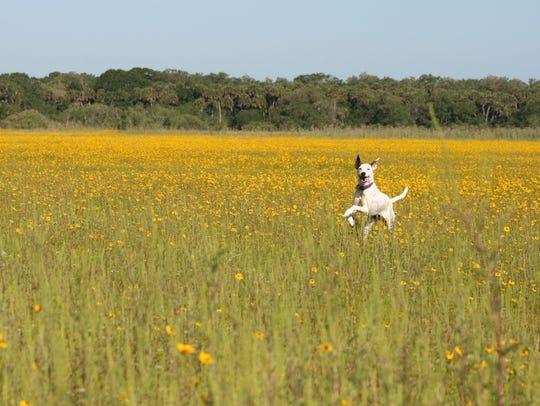 Ammo, an Australian cattle dog-whippet mix, gallops