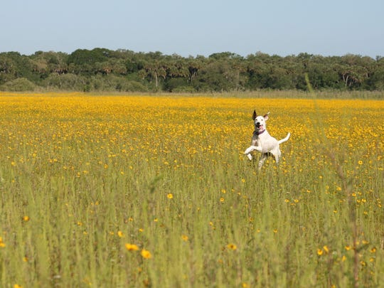 Ammo, an Australian cattle dog-whippet mix, gallops through Yellow Florida Tickseed (Coreopsis floridana) in bloom in Myakka River State Park in Sarasota on May 5, 2018.