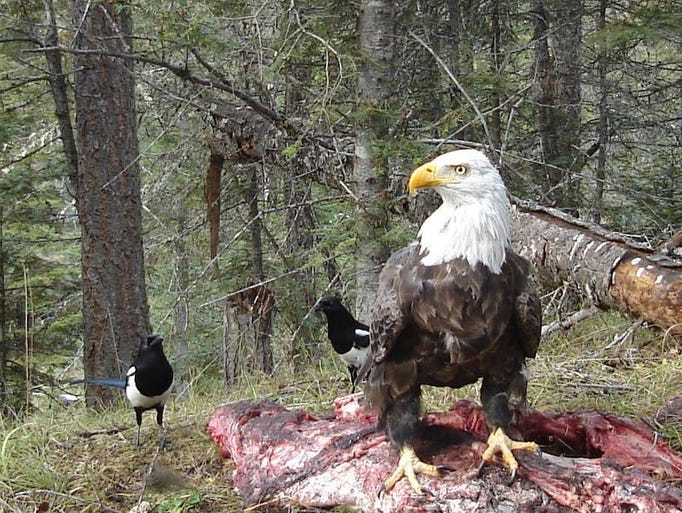 A bald eagle feeds on an animal carcass. This photo was captured using a motion-activated trail camera.