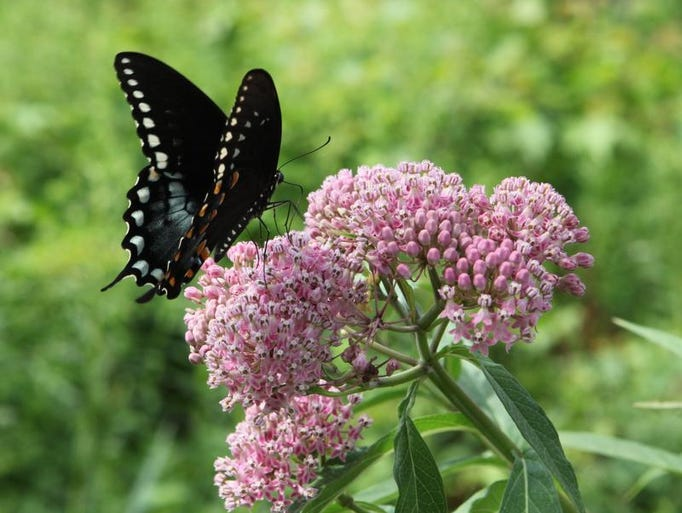 A swallowtail butterfly lands on Joe-pye weed at the Native Plant Center at Westchester Community College in Valhalla, July 23, 2013. The garden will be on view as part of the Open Days Program, July 28, 2013.  ( Mark Vergari/The Journal News )