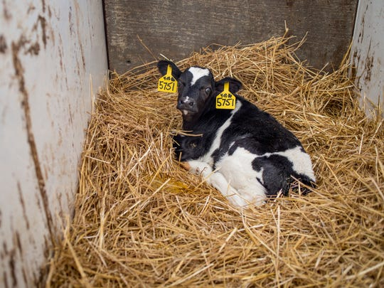 A week old calf rests in a bed of straw Wedneday, April 20, 2016 at Reid Dairy Farm in Grant Township.
