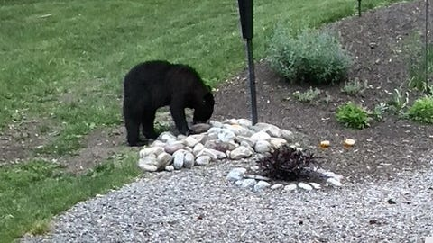 Seems like everyone in Canandaigua is seeing a black bear -- or more than one -- this week. This bear was spotted recently near Canandaigua Lake.