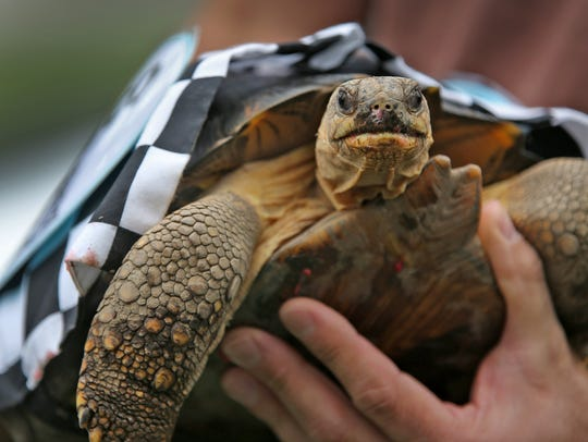 Radiated tortoise Marco (Andretti) was the winner of the Zoopolis 500 at the Indianapolis Zoo in 2015.