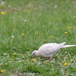 A leucistic mourning dove feeds among doves with normal plumage.