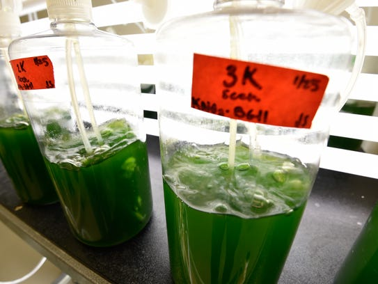 View of green algae being studied by University of