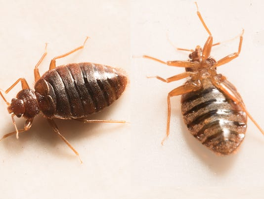 close up view of two bed bugs.