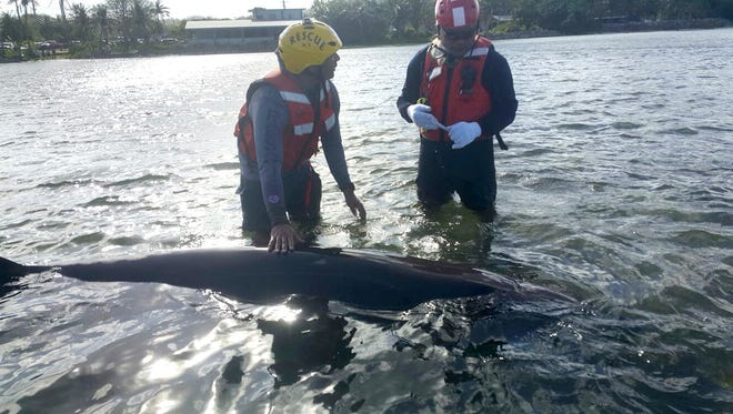 Guam Fire Department firefighter Jerred Wells, left, and Lt. Jerry Barcinas assist a beaked whale which nearly beached near Agat on Tuesday, March 8. Firefighter J.R. Pablo also assisted in the rescue, said department spokesman firefighter Kevin Reilly.
