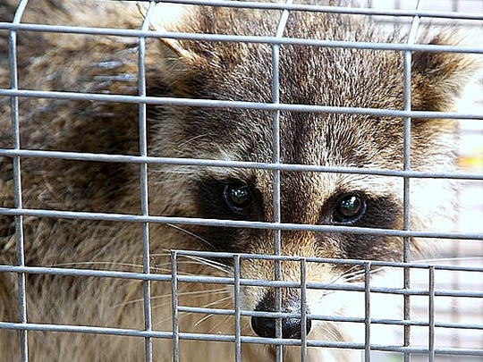 Infected raccoons are the biggest culprit in an uptick
