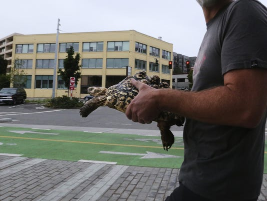 A different sort of pet, Cha Cha the tortoise strolls Seattle's South Lake Union