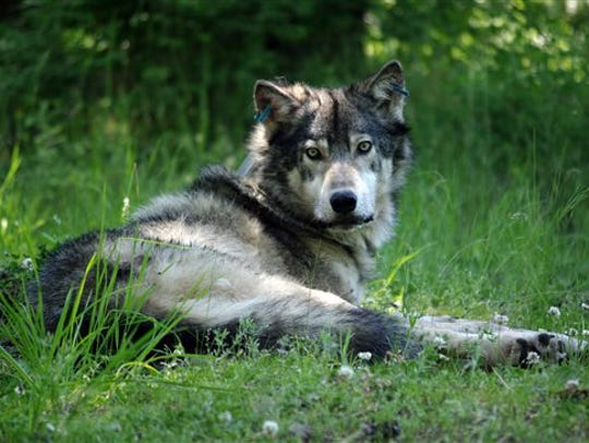 A wolf, or wolves, attacked and killed three calves on the rancher's land during a three-day period last week.