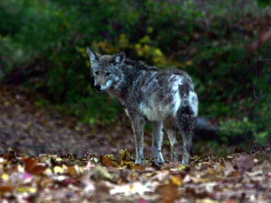 A coyote walks down a trail off Route 22 in Katonah