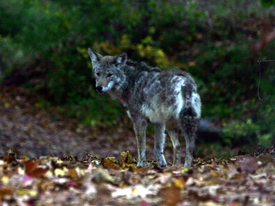 Coyote spottings are a popular post on Nextdoor, a social media site for communities.