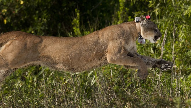 Florida panther 223 runs wild after being released by state biologists, who raised him since he was a kitten. FP223 was found after its mother had been hit and killed by a vehicle.