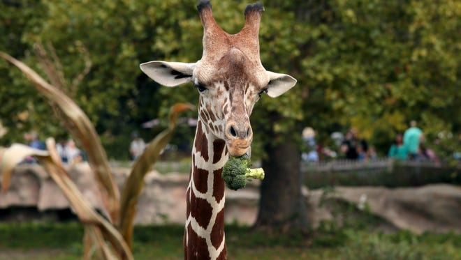 Kivuli, an adult female giraffe munches on broccoli she pulled out of a pumpkin at the Detroit Zoo in Royal Oak.