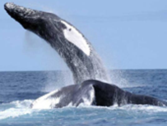 636287339331635395-humpback-nefsc-small.jpg