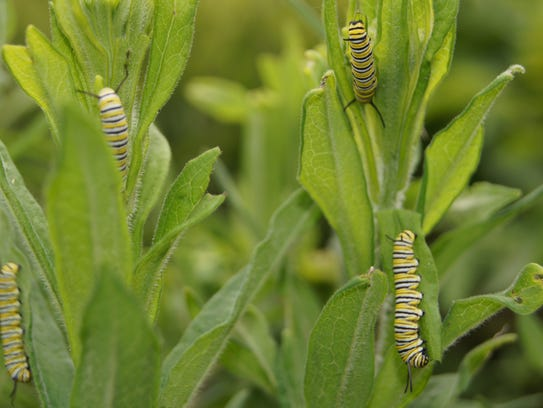 Monarch larvae climb on milkweed plants in this photo
