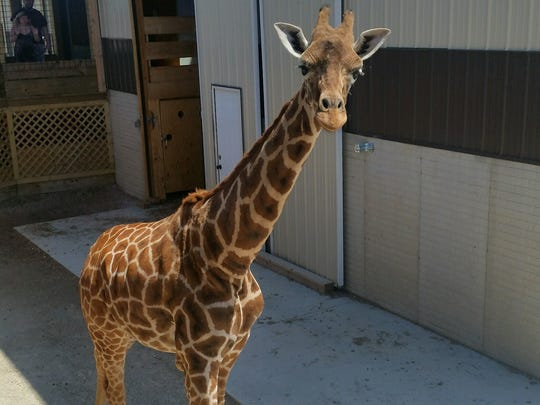 The Watering Hole Safari and Water Park at Monsoon Lagoon was planning a baby shower for their pregnant giraffe, Macey. However, the calf was lost on Thursday morning.