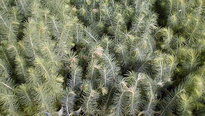 The New Mexico State Forestry Division Conservation Seedling Program began its annual fall seedling sale starting July 6, 2021.