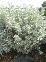 Silver buttonwood is frequently seen growing in beach communities.