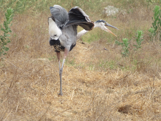 Blue Herons are one of the birds you may see at Ventura's