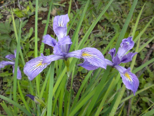 Oregon iris grows in clumps with purple to blue flowers from mid-spring to early summer.