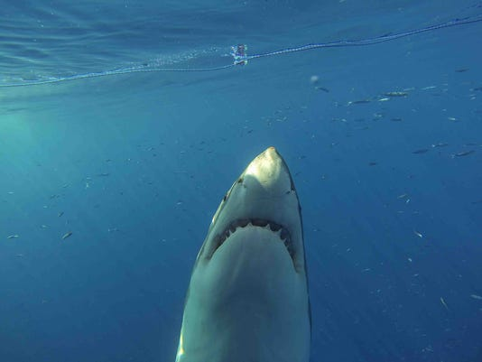 XXX SHARK-WEEK-SHARK-SWIM-UP-5492-.JPG LIF ENT TEL