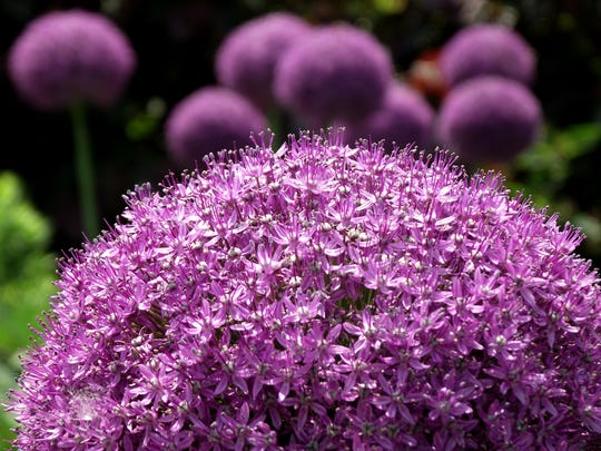 Wonderful in texture, color and vertical height, allium, or ornamental onion, are excellent fall bulbs to plant in autumn for spring bloom.