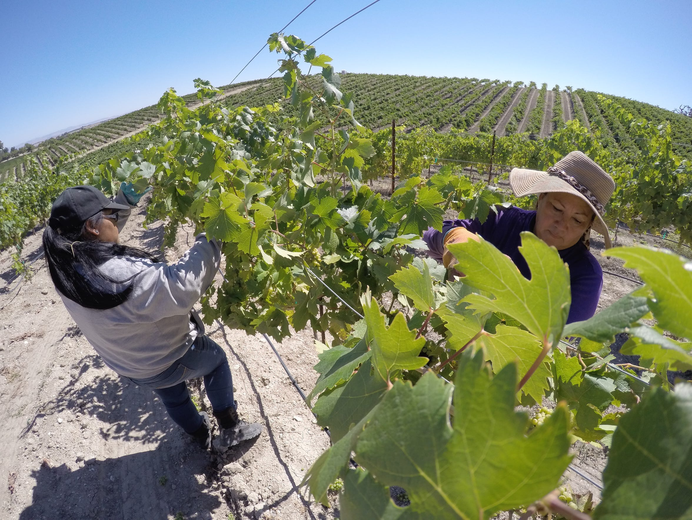 Leticia Espinoza, right, and Maria Ortega prune grapevines