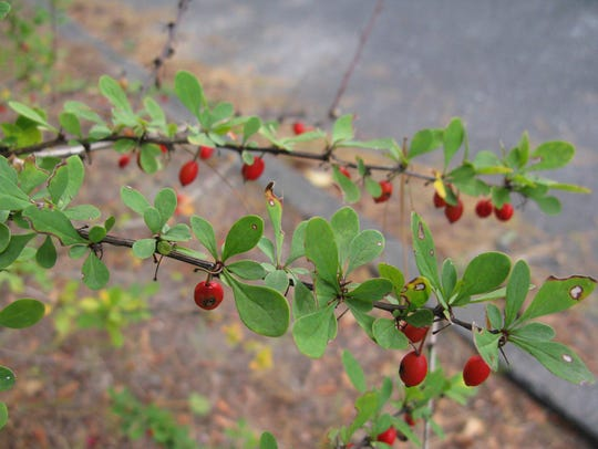 The invasive Japanese barberry bush competes wiith