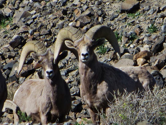 Bighorn sheep near Walker Lake in Nevada.