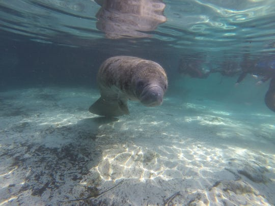 Snorkelers in Three Sisters Spring practicing passive observation_credit Ed Menster, Plantation on Crystal River