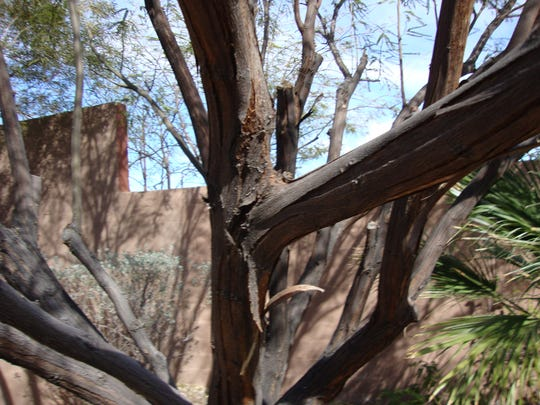 The bark peels off a mesquite tree.