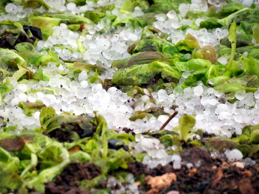 Vegetables destroyed by hail