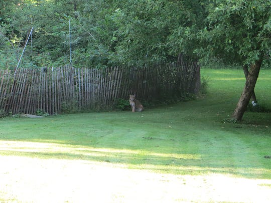 Gordon Clements says he'll often see wildlife in his Wausau backyard but had never seen a bobcat before July 12.